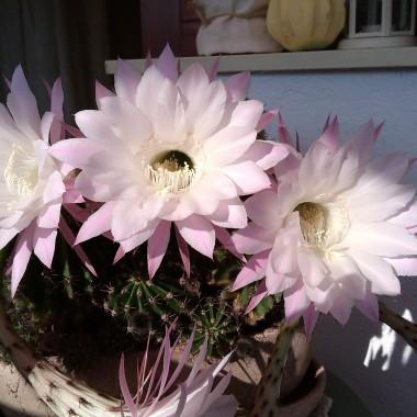 Kwiat kaktusa