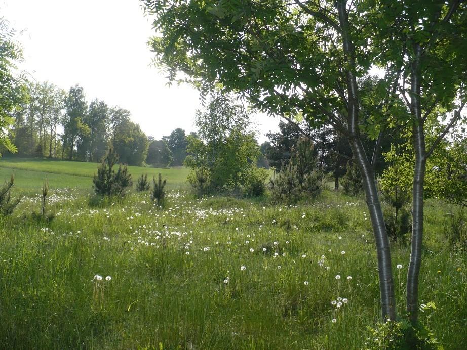 Rośliny, Majowe radości................... - ..............i dmuchawce na mojej wsi...........