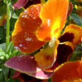 kwiatki,bratki i stokrotki dla ....