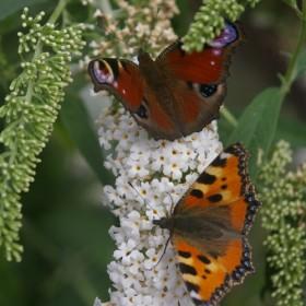 lato z motylami