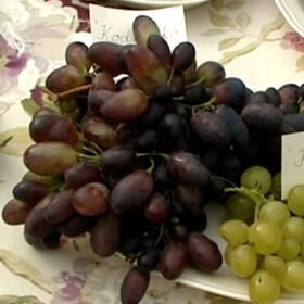 Jakie winogrona można hodować w Polsce?