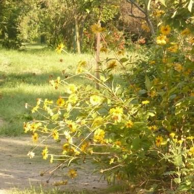 ..............i złote kwiaty przeglądają się w porannej rosie...........