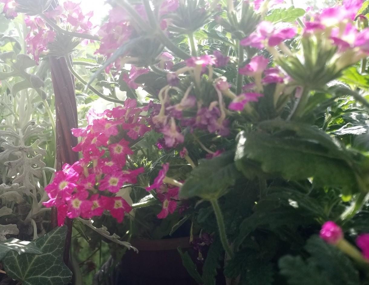 Rośliny, Majowe radości................... - ................i werbena................
