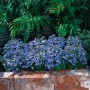 Rośliny, Piękna Lobelia