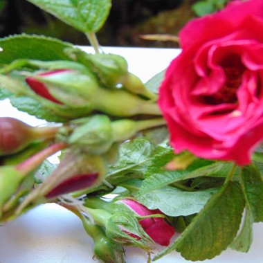 ...............i wianeczek z róż...............