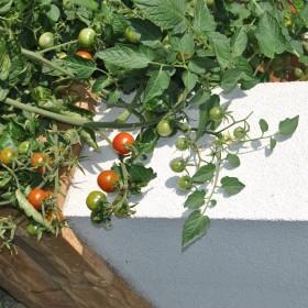 szalony pomidor