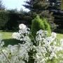 Pozostałe, Wiosna - kolejna odsłona... - Białe w ogrodzie -dziwne kwiaty,same się wysiewają i obłędnie pachną wieczorem:)