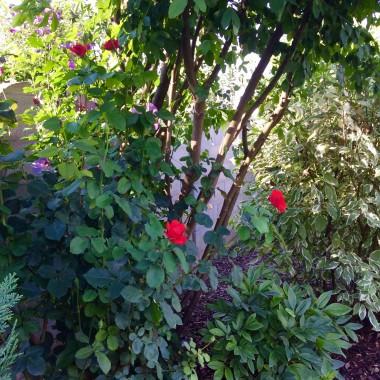 Witam!W kolejnej galerii przedstawiam nasz drugi ogrod...duzo w nim zieleni...troche kwiatow...warzyw...Wazne, ze jest dla nas odskocznia od codziennych obowiazkow...Pozdrawiam serdecznie i pieknego tygodnia Wam zycze:)