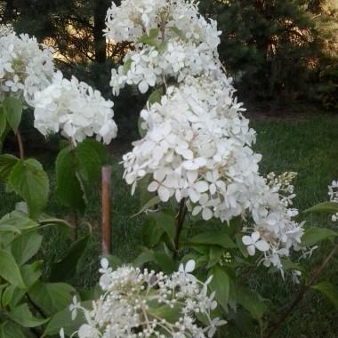 kupiłam sobie w tym roku mam nadzieje że sie pięknie rozrośnie-hortensja ogrodowa :)
