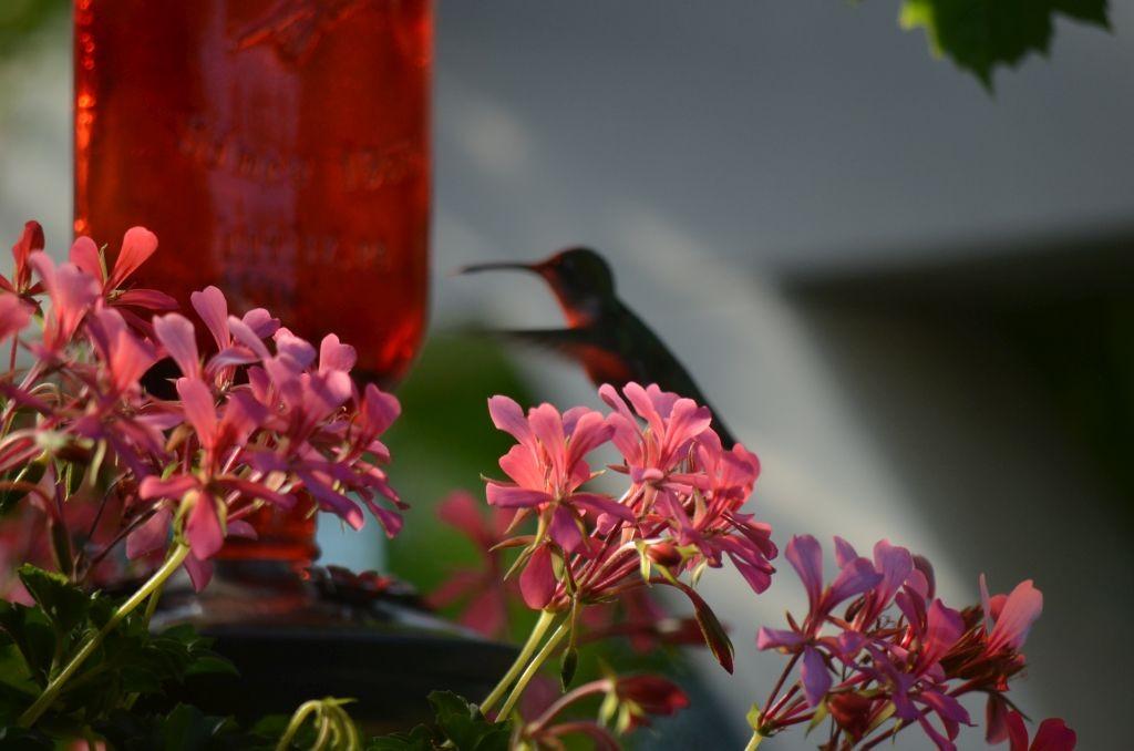 Pozostałe, Letnia galeria - Para kolibrów zadomowiła się u mnie na dobre a może ja u nich ...