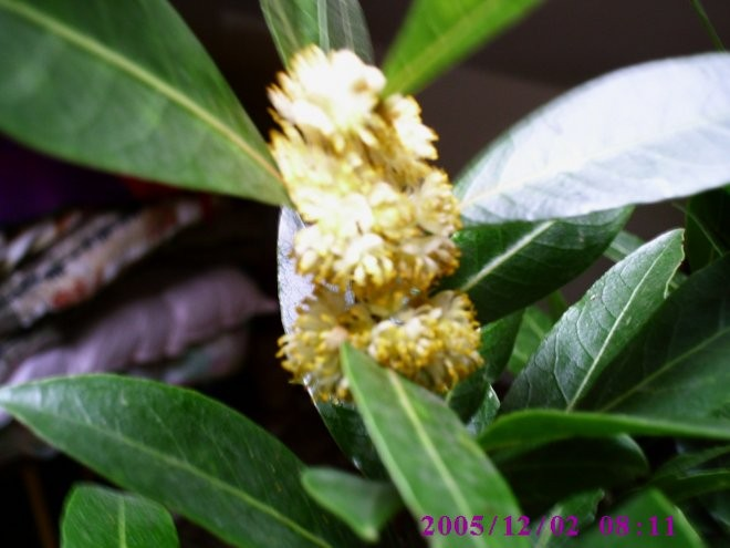 Rośliny, Rośliny egzotyczne - Liść laurowy kwitnący