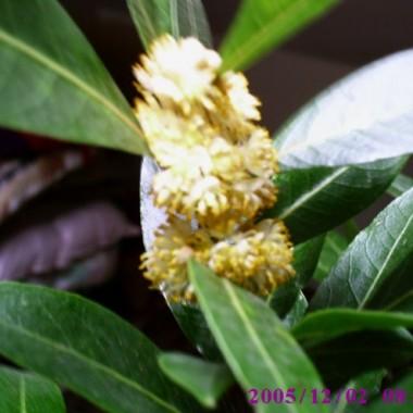 Liść laurowy kwitnący