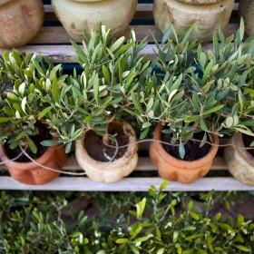 Drzewko oliwne - wspomnienie z wakacji