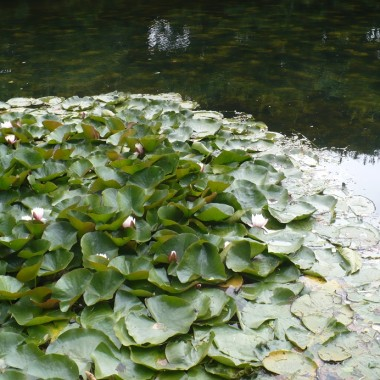 .............i lilie wodne.............