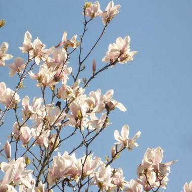 ..........i magnolia............