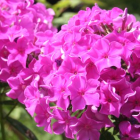 Floksy w ogrodzie - odmiany i pielęgnacja