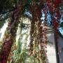 Rośliny, Wrześniowe fotki.................... - ................i dzikie wino...............