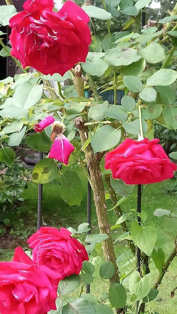 Rośliny, Czerwcowe róże ................. - ...............i róże...............