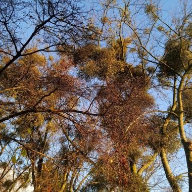 ..................i kule jemioły na drzewach................