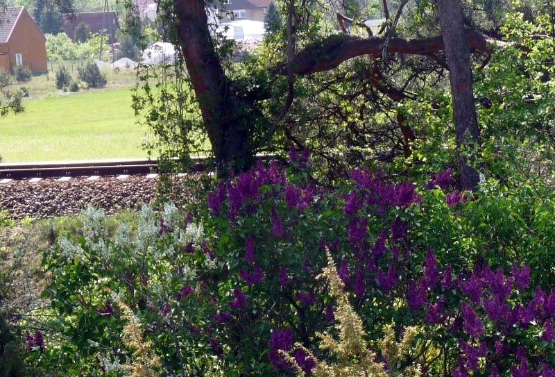 Ogród, Bez, bzy -  widok z piętra / trasa kolejowa do Częstochowy/